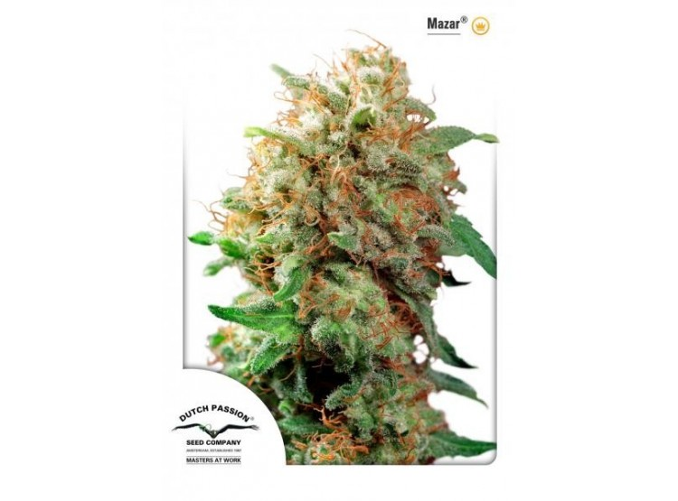 Mazar 3 Semillas Dutch Passion para cultivo indoor