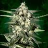 Jack 5 Semillas Feminizadas Black code seeds para cultivo indoor