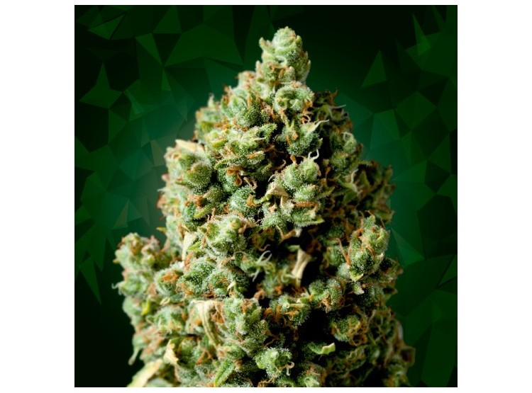 Critical+ 5 Semillas Black Code Seeds para cultivo indoor