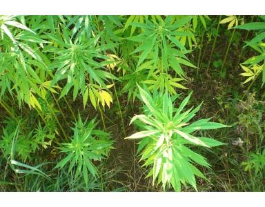 Errores típicos en el cultivo de marihuana