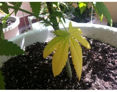 Deficiencia de nitrógeno en cannabis
