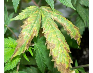 Deficiencia de fósforo en cannabis