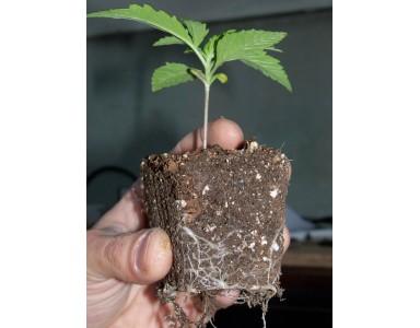 Trasplantar plantas de marihuana