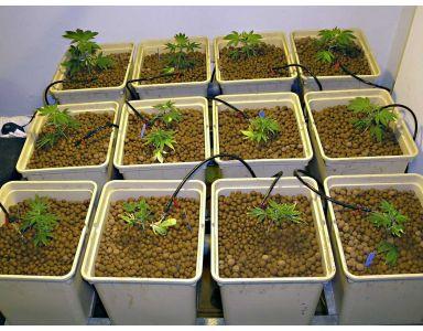 Cultivo hidropónico de cannabis